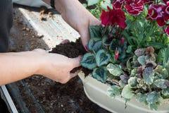 Vrouwentuinman Adding Soil aan een de Lentebloemstuk royalty-vrije stock afbeelding