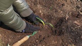 Vrouwentuinman die zaailing in grond dicht omhoog planten stock footage