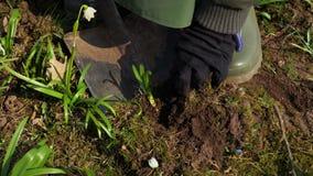 Vrouwentuinman die zaailing van de grond uitgraven Het tuinieren concept stock video