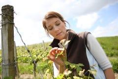 Vrouwenwinegrower die bloemen van wijnstokken controleren stock fotografie