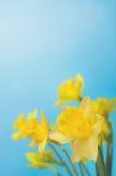 Vårpåskliljor mot blå himmel Royaltyfri Bild