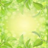 Vårsommar lämnar bakgrund med solljus och bokeh Arkivbild