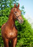 Vårstående av den kastanjebruna Trakehner hingsten Fotografering för Bildbyråer