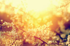 Vårträdblommor blomstrar, blommar i varm sol Tappning Arkivbilder