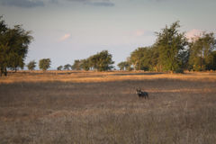 Vårtsvin i savannet av den Gorongosa nationalparken Royaltyfri Foto