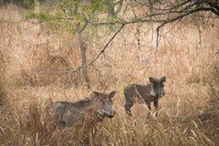 Vårtsvin i savannet av den Gorongosa nationalparken Royaltyfri Fotografi