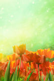 Vårtulpan i fält Arkivbilder