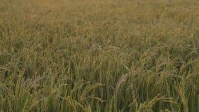 Vruchtbaar padieveld stock footage