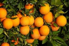 Vruchtbaarheid - Veel sinaasappelen op een boom stock fotografie