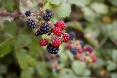 Vruchten en Bessen 1 Stock Fotografie