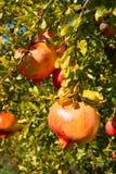 Vruchten en bladeren van granaatappel Stock Foto's