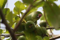 Vruchten eter die parrats voedsel van de aardwereld eten stock afbeelding