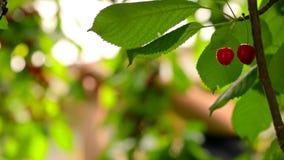 Vruchten Kersen voor het oogsten worden gerijpt die stock video