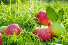 Vruchten liggen de rijpe, rode, sappige appelen op een groen gras Stock Afbeelding