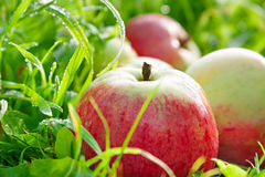 Vruchten liggen de rijpe, rode, sappige appelen op groene gras dichte omhooggaand Royalty-vrije Stock Fotografie