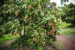 Vruchten longan op de boom Royalty-vrije Stock Foto's