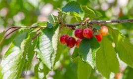 Vruchten op de tak van zoete kers in de tuin De rode kers rijpt op een groene boom in de zomer Aard vage achtergrond stock fotografie