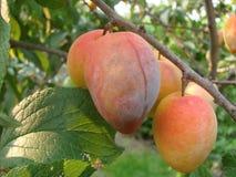 Vruchten van abrikoos Stock Afbeelding