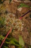 Vruchten van Clematissenvitalba Royalty-vrije Stock Foto's