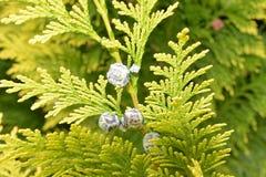 Vruchten van Cupressus royalty-vrije stock foto's