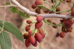 Vruchten van de pistacheinstallatie, Iran stock fotografie