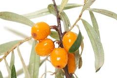 Vruchten van duindoornclose-up Stock Afbeeldingen