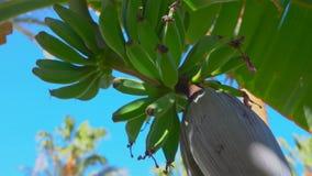 Vruchten van een banaan op een boom tegen een blauwe hemel stock footage