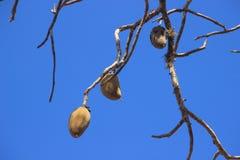 Vruchten van een baobabboom op takken royalty-vrije stock afbeelding