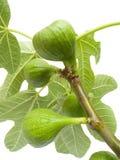 Vruchten van een boom van fig. met Stock Foto