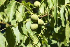 Vruchten van een gemeenschappelijke okkernoot in een groene schiljuglans regia Stock Foto
