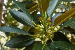 Vruchten van ficus het groeien op een boom royalty-vrije stock afbeelding