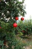 Vruchten van granaatappel Royalty-vrije Stock Foto