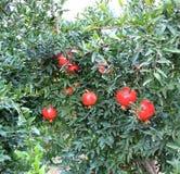 Vruchten van granaatappel Royalty-vrije Stock Afbeelding