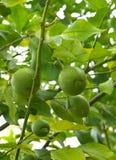 Vruchten van kalk op een boomtak Stock Afbeelding