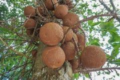 Vruchten van Kanonskogelboom stock afbeeldingen