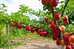 Vruchten van pruimboom Royalty-vrije Stock Fotografie