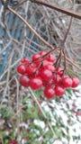 Vruchten van Viburnum royalty-vrije stock afbeelding