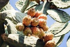 Vruchten van vijgcactus met vruchten als Vijgencactus, ficus-indica, Indische fig.vijgencactus in de zeekust van Taormina ook wor royalty-vrije stock foto