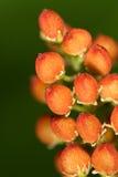 Vruchten van Wilde Bloem Royalty-vrije Stock Foto's