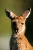 västra grå känguru Royaltyfria Bilder