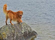 Våt hund som är klar att hoppa i sjön och att hämta HDR Royaltyfria Bilder