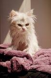 Våt kattunge Arkivfoton