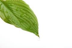 våt leaf Royaltyfri Foto