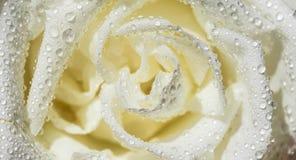 Vät rose Royaltyfria Foton