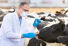 Vétérinaire aux bétail de ferme Photo stock
