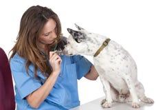 Vétérinaire avec un crabot pour une revue Photo stock