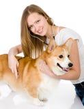 Vétérinaire vérifiant la fréquence cardiaque Images stock