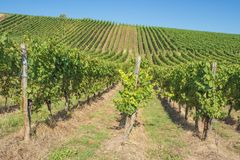 Vue à l'intérieur des vignobles de Stadtbredimus images stock