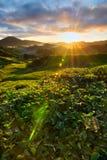 Vue étonnante de lever de soleil à la plantation de thé Photographie stock libre de droits