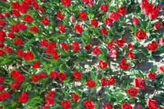Vue étroite à partir du dessus des tulipes rouges dans l'heure d'été Image stock